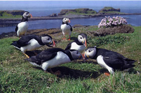 Photo of Puffins on Treshnish Isles